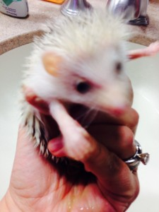 Sonic after his bath.